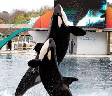orcas__1